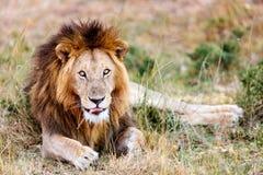 lew afryce dolców Zdjęcia Stock