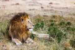 lew afryce dolców Fotografia Stock