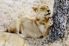 lew afryce południowej Fotografia Royalty Free