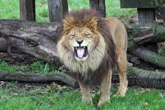 lew afrykańska samiec Fotografia Royalty Free