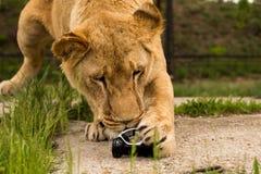 Lew bawić się z małym wzorcowym samochodem Renault twizy Obraz Stock