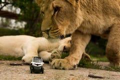 Lew bawić się z małym wzorcowym samochodem Renault twizy Zdjęcia Stock