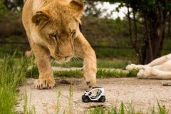 Lew bawić się z małym wzorcowym samochodem Renault twizy Zdjęcia Royalty Free