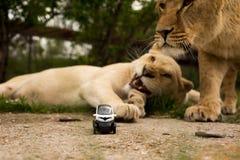Lew bawić się z małym wzorcowym samochodem Renault twizy Obraz Royalty Free