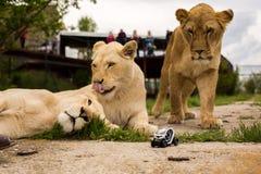 Lew bawić się z małym wzorcowym samochodem Renault twizy Zdjęcie Royalty Free