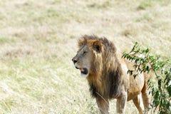 Lew blisko krzaka Zdjęcie Royalty Free