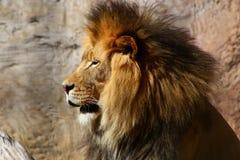Lew brać przy zoo Zdjęcia Royalty Free