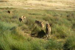 Lew chodzi z rzędu po drining przy waterhole fotografia stock