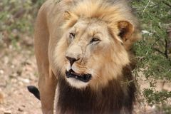 Lew chwytający w Namibia obrazy royalty free