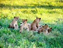Lew Cubs Zdjęcia Royalty Free