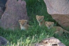 Lew Cubs chuje w trawie i rockowy Kopi na Serengeti zdjęcie royalty free