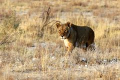 Lew czaije się dla zdobycza w Etosha niecce - Namibia Afryka obraz stock