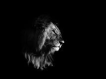 Lew, czarny i biały obraz stock