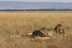Lew duma i swój zwłoka Fotografia Stock