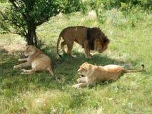Lew duma jest odpoczynkowa Fotografia Royalty Free