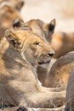 Lew duma odpoczywa w Serengeti Obrazy Stock