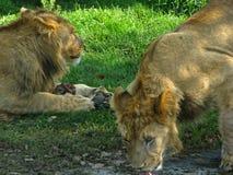 Lew duma pije przy wodopojem Zdjęcie Royalty Free