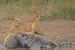 Lew duma przy hipopotama zwłoka (Panthera Leo Krugeri) fotografia royalty free