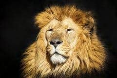 Lew głowa w górę obraz royalty free