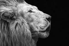 Lew głowa w górę fotografia stock