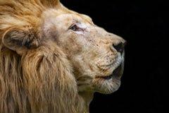Lew głowa w górę zdjęcia royalty free