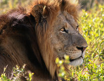 Lew głowa w południowym Africa Obrazy Stock