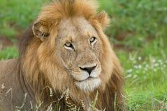 Lew głowy centrum otaczający luksusową zieloną trawą obrazy royalty free