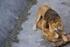Lew i jego lwica Zdjęcia Royalty Free