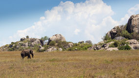 Lew i kamienie Obrazy Stock