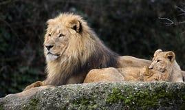 Lew i lwów lisiątka zdjęcie stock