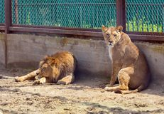 Lew i lwica Obraz Royalty Free