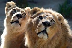 Lew i lwica Zdjęcie Royalty Free