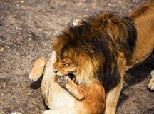 Lew i lwica zdjęcia royalty free