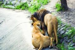 Lew i lwica obraz stock
