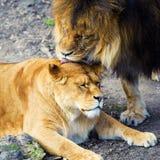 Lew i lwica obrazy stock