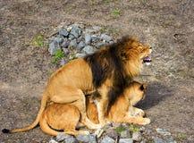 Lew i lwica zdjęcie stock