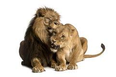 Lew i lwica cuddling, kłamający, Panthera Leo obraz stock