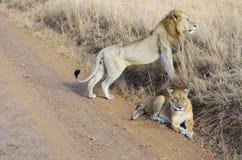 Lew i lwica dobieramy się w sawannie, Afryka, Masai Mara park narodowy, Kenja Zdjęcie Royalty Free