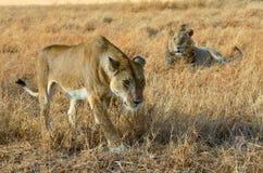 Lew i lwica dobieramy się w sawannie, Afryka, Masai Mara w Kenja Obraz Stock