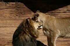 Lew i lwica pokazuje afekcję Zdjęcie Royalty Free