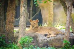 Lew jest jeden duzi koty w genus Dyszy (Panthera Leo) Zdjęcie Royalty Free