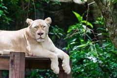 Lew jest odpoczynkowy obraz stock