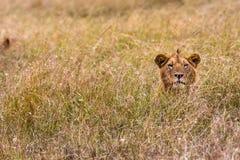 Lew jest odpoczynkowy w gęstej trawie Kenja Zdjęcie Royalty Free