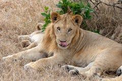 Lew kłaść w obszarach trawiastych na Masai Mara, Kenja Afryka obraz stock