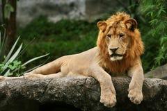 Lew kłaść na skale Zdjęcia Stock