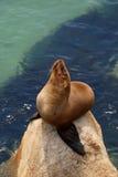 lew kalifornijskie morza Zdjęcie Stock