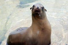 lew kalifornijskie morza Obrazy Royalty Free