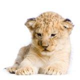 lew młode fotografia royalty free