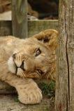 lew młode Fotografia Stock