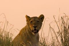 lew młode Zdjęcia Royalty Free